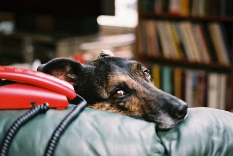 sad dog next to telephone