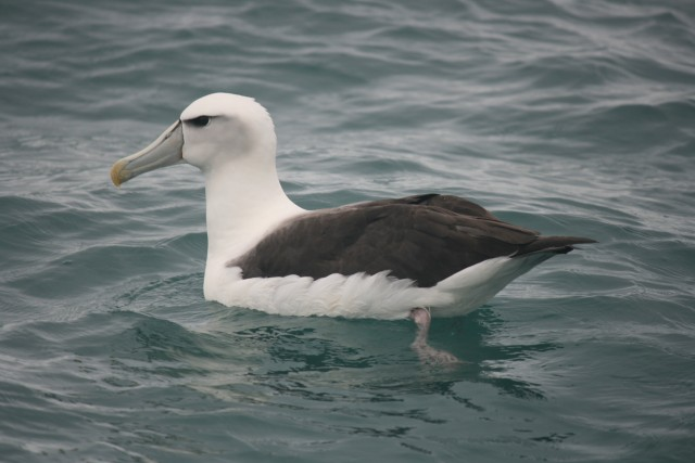 albatross in sea