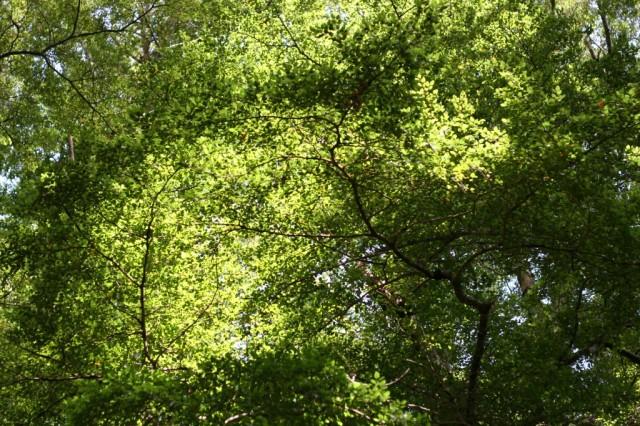 beech tree in new zealand