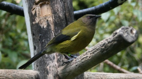 bellbird at feeder in zealandia