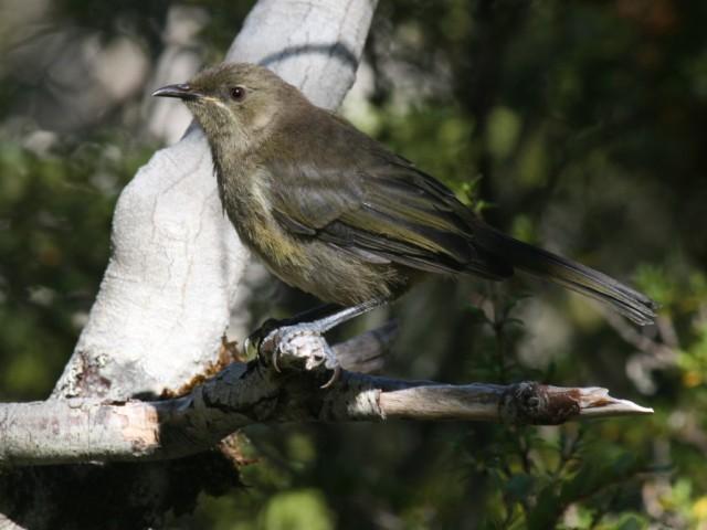 bellbird in arthurs pass