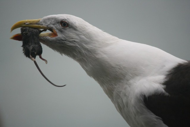 black backed gull with mouse in mouth