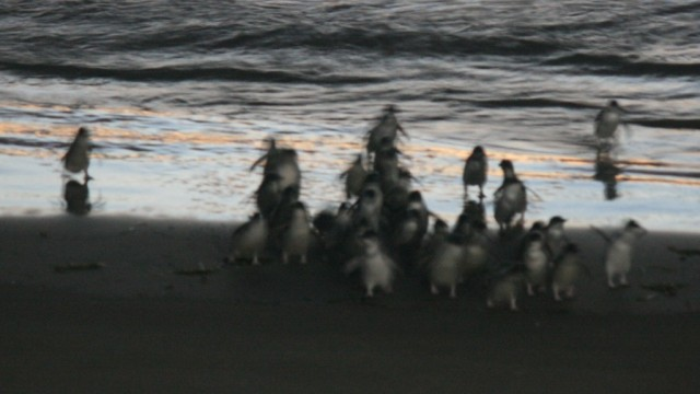 blue penguins emerging from sea off taiaroa head