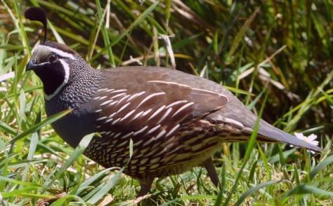 california quail in grass