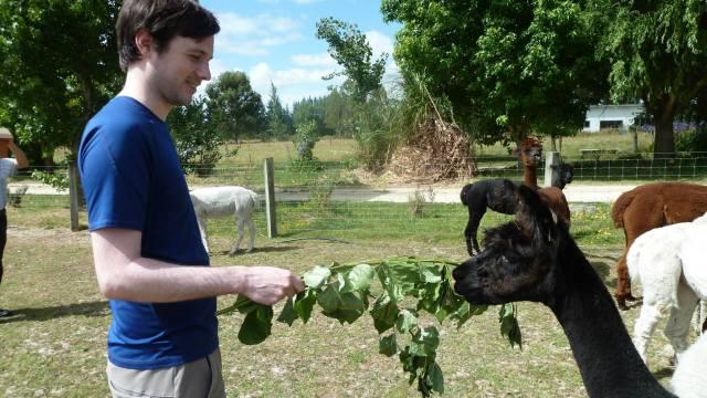 daniel feeding an alpaca