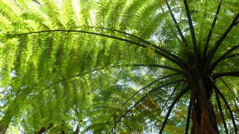 fern tree in new zealand