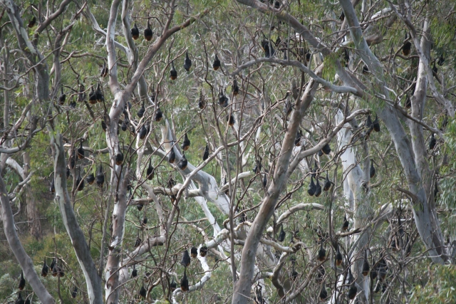 flying fox bats in trees yarra bend