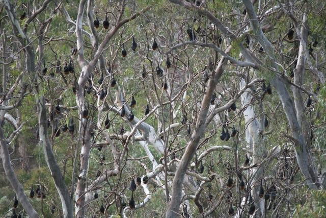 flying fox bats in trees yarra bend