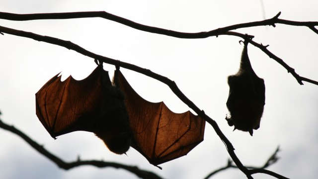 flying fox hanging from tree