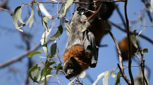 flying fox bat hanging upside down