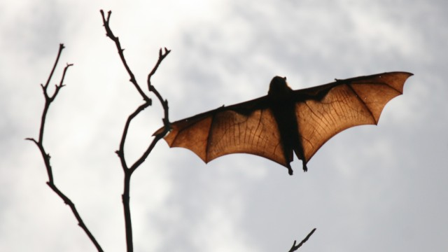 flying fox with wings spread