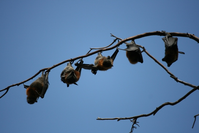 flying foxes hanging from branch