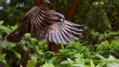 kaka flying in zealandia