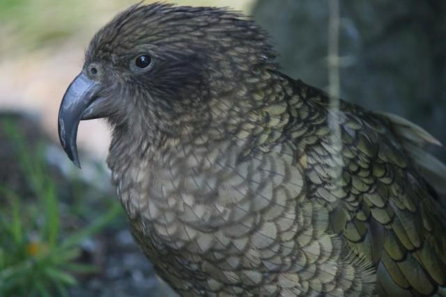 kakapo in arthurs pass