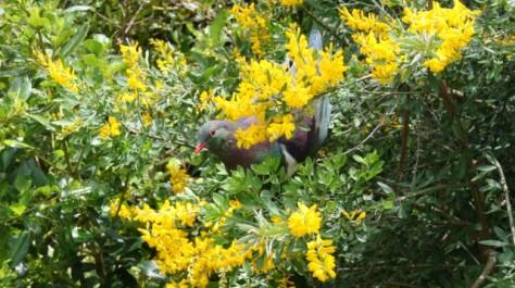 kereru sitting in bush with flowers