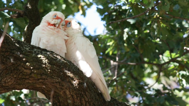 long billed corella grooming