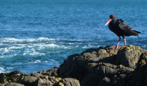 Oystercatcher along the water in Wellington, New Zealand.