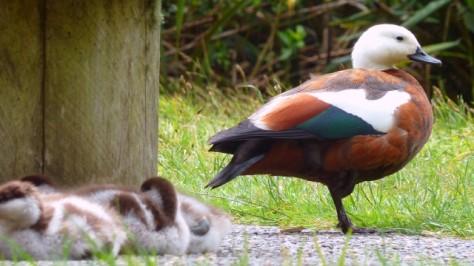 paradise shelduck protecting ducklings