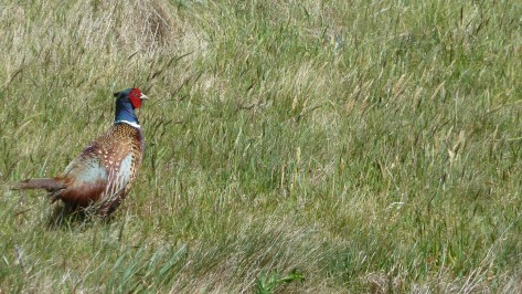 A wild pheasant seen in Wellington.