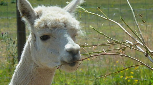 alpaca eating
