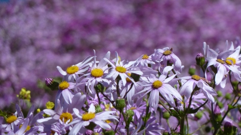 Purple daisies fill Wellington during the spring time.