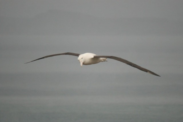 royal albatross above taiaroa head