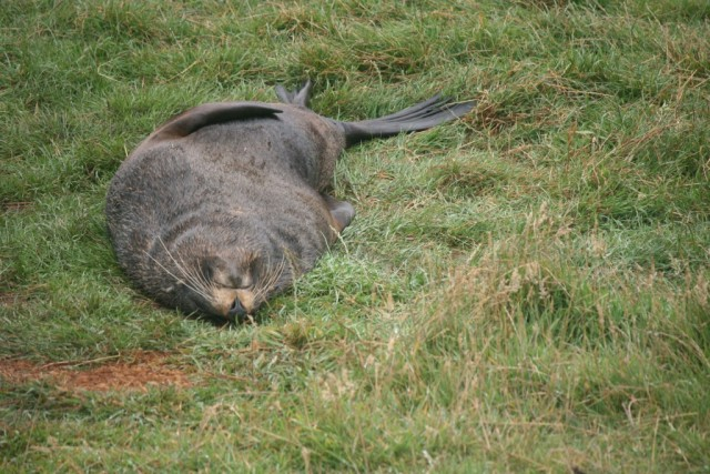 seal lying on grass