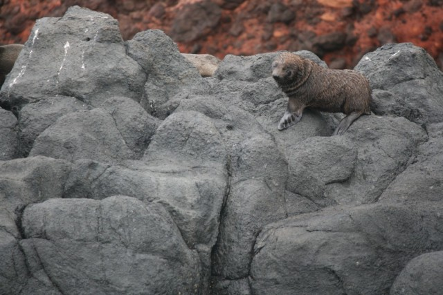 seal pup on taiaroa head