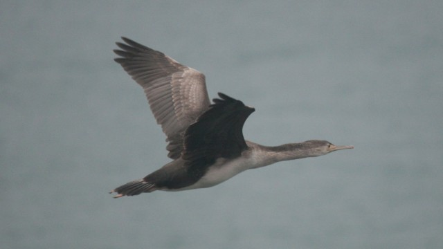 shag flying
