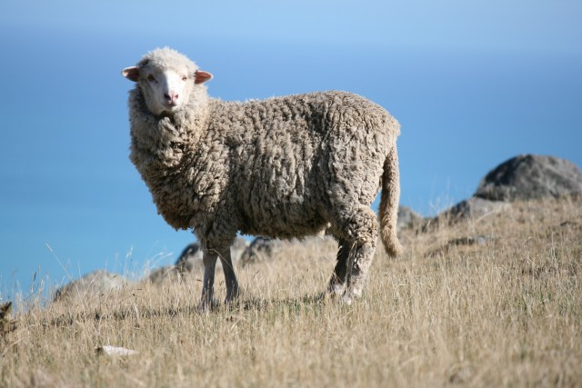 sheep with tail in new zealand