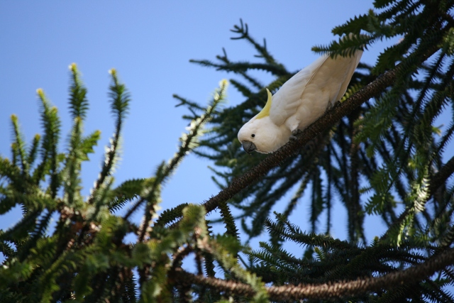 sulphur crested cockatoo in tree