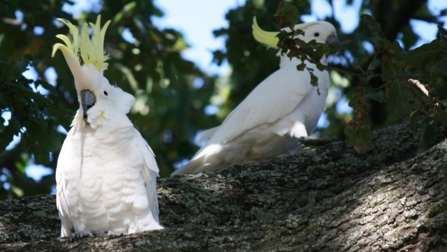 sulphur crested cockatoos in trees