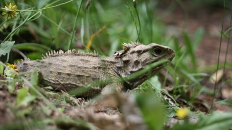 tuatara sitting in sun